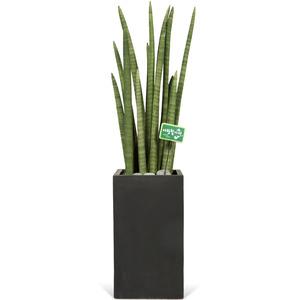 스투키-공기정화식물