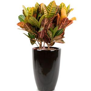 잎 크로톤