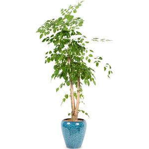 행복나무(녹보수)