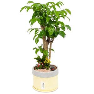녹보수(행복나무)