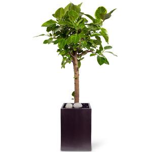 뱅갈고무나무(시멘)