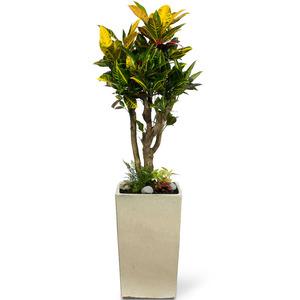 잎크로톤-사각분
