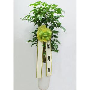 녹보수-흰색화분