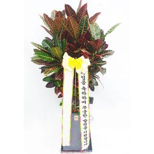 잎크로톤-개업화분